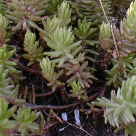 plante grasse orpin