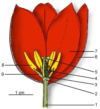 Schéma de'une Tulipe sur le site http://bioeco.free.fr/index.htm