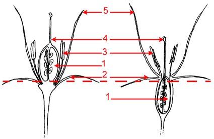 Structure des ovaires infère et supère sur le site http://bioeco.free.fr/index.htm
